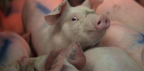 Exportação de carnes de frango e suína do Brasil deve aumentar até 3% em 2019, diz associação